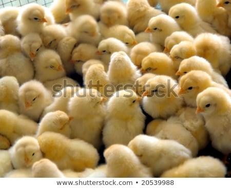 Garotas grupo jovem natureza fundo frango Foto stock © Kuzeytac