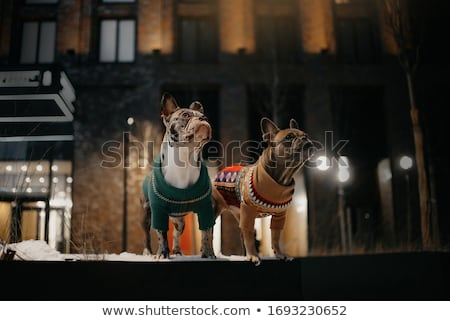 волка · лунный · свет · иллюстрация · собака · луна · синий - Сток-фото © melpomene