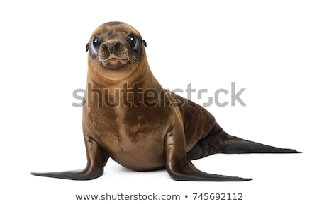 Stock photo: California sea lion isolated on white background