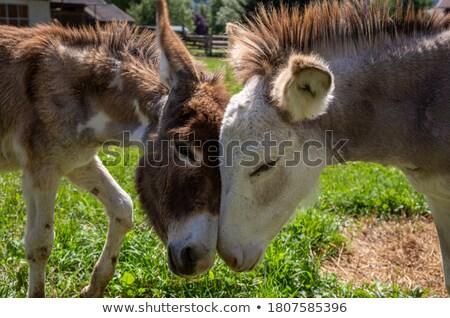 Pár legelő sétál gazdák ló farm Stock fotó © rhamm