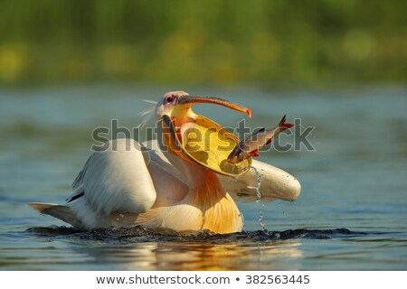 Nagyszerű fehér repülés tó természet toll Stock fotó © ajn
