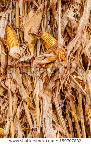 harvested corn stalk stacked up near fence Stock photo © alex_grichenko