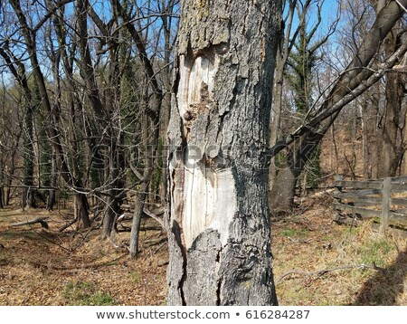 tree with bark that peels off Stock photo © trala