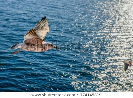 Grey-Headed Gull hovering over the ocean Stock photo © davemontreuil