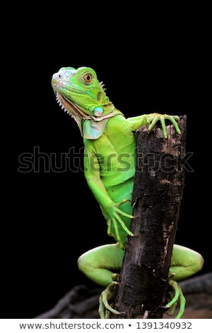Stockfoto: Green Iguanas On Tree Branches