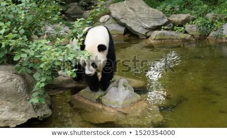 Foto stock: Panda · água · gigante · rocha · tenha · parque