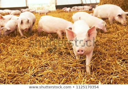 любопытный · свинья · необычный · выстрел · два · смешные - Сток-фото © stevanovicigor