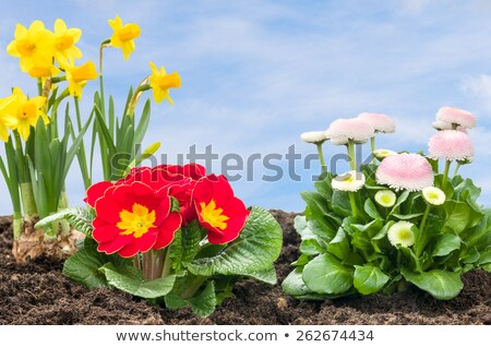 flower bed with daffolis primroses and daisies stock photo © zerbor