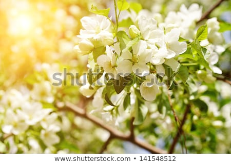 blossoming apple tree flowers stock photo © neirfy