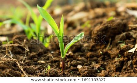 小さな · 緑 · トウモロコシ · 農業の · フィールド · 早い - ストックフォト © stevanovicigor