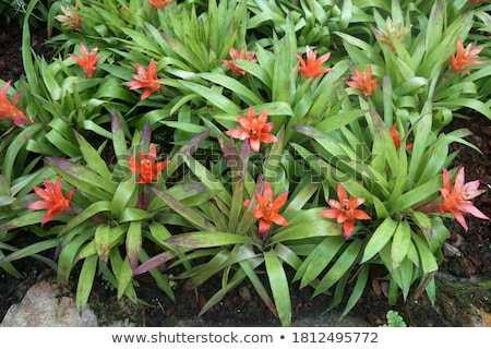 Neoregelia compacta Stock photo © eddows_arunothai