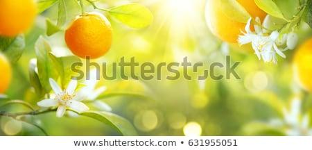 ág · virágzó · gyümölcsfa · fehér · virág · új · zöld · levelek - stock fotó © peredniankina