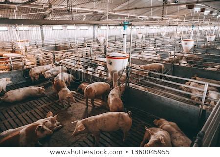 jeunes · ferme · extérieur · coup · viande · porc - photo stock © w20er