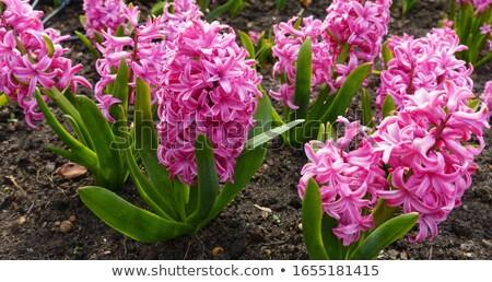 çiçekli · iki · güzellik · pembe · kalay · kova - stok fotoğraf © zhekos