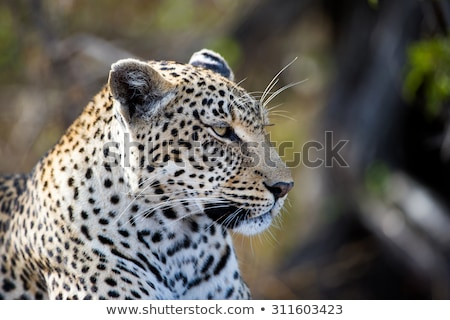 Side profile of a Leopard in the Sabi Sands. Stock photo © simoneeman