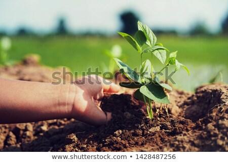 női · gazdák · kezek · szójabab · mező · felelős - stock fotó © stevanovicigor
