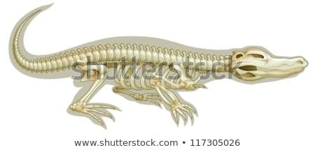 Crocodil ilustrare artă craniu alb animal Imagine de stoc © bluering