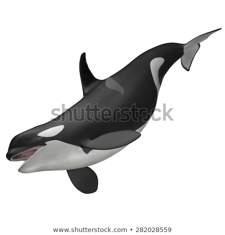 Assassino balena rendering 3d isolato bianco Ocean Foto d'archivio © mariephoto