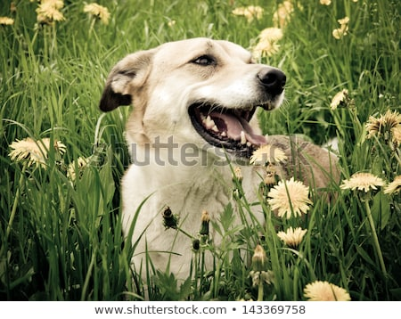 Foto stock: Triste · negro · mixto · raza · perro · hermosa