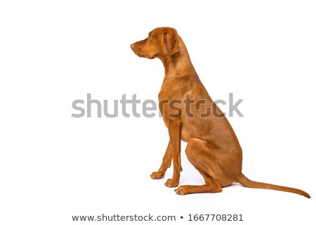 puppy hungarian vizsla side portrait in white studio stock photo © vauvau