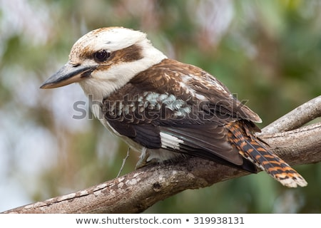 сидят · филиала · Квинсленд · Австралия · лет · птица - Сток-фото © dirkr