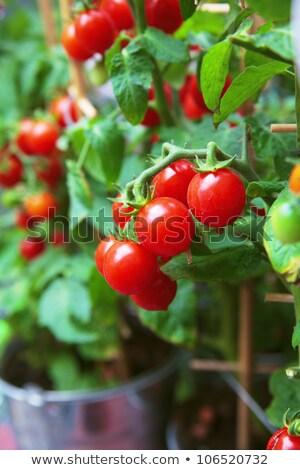 Pomidorki ogród pomidory żywności owoców tle Zdjęcia stock © Valeriy