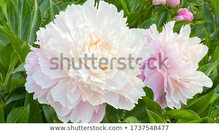 blooming white tree peony big white peony in the spring season stock photo © virgin