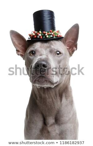красивой тайский собака высокий Hat молодые Сток-фото © svetography
