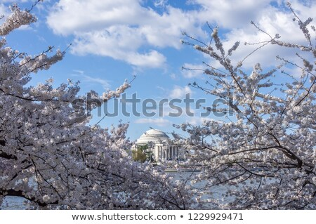 thomas jefferson memorial framed by blooming cherry trees and cloudy blue skies during cherry blosso stock photo © yhelfman
