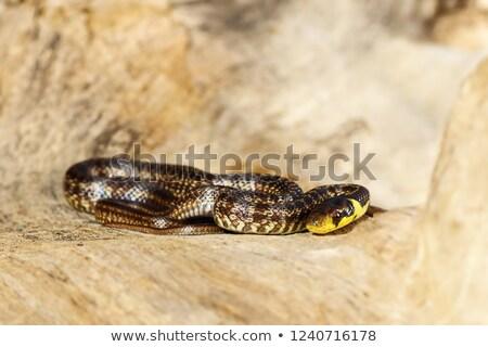 juvenile aesculapian snake basking on wood stump Stock photo © taviphoto