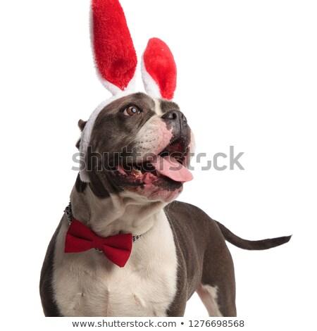 Curioso americano Conejo de Pascua orejas Foto stock © feedough