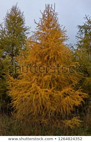Larch tree with strobiles in November Stock photo © galitskaya