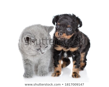 British Long- and Shorthair kittens on black Stock photo © CatchyImages