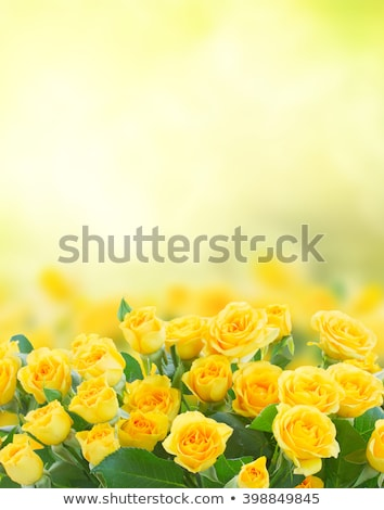 Stock photo: fresh yellow roses