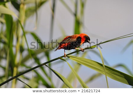 Red Bishop On A  Reed Stock photo © albund