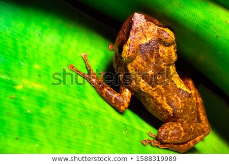 Red-Eyed tree frog on Bromeliad Stock photo © macropixel