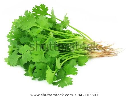 Frescos cilantro hojas blanco hoja fondo Foto stock © bdspn