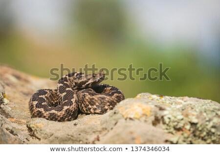 VIpera ammodytes on a rock Stock photo © taviphoto