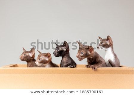 Távolkeleti rövidszőrű kiscica doboz fehér aranyos Stock fotó © CatchyImages