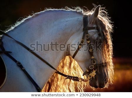 horse andalusian Stock photo © jarp17