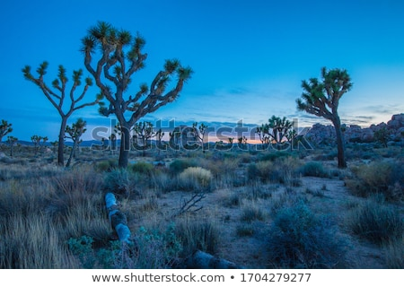 beautiful yucca plants in sunset in desert area i Stock photo © meinzahn