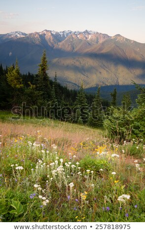 Stock photo: Early Morning Light Olympic Mountains Hurricane Ridge
