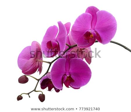 monte · violeta · orquídeas · folhas · verdes · pote · isolado - foto stock © neirfy