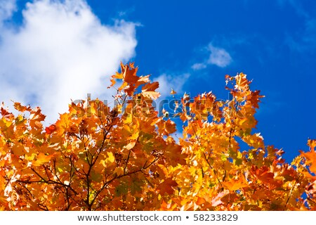 maple tree crone in autumn colors stock photo © mahout