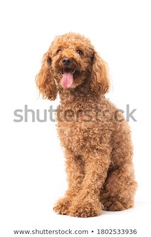 marrom · poodle · belo · branco · feminino · cachorro - foto stock © raywoo