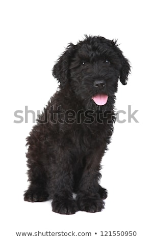 Stock photo: Black Russian Terrier Puppy on a White Background