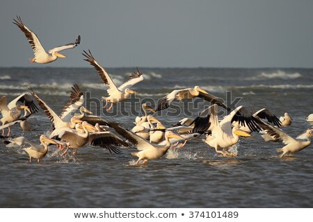 pelican taking flight from water  Stock photo © taviphoto