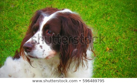 bonitinho · trabalhando · tipo · inglês · animal · de · estimação · arenoso - foto stock © chrisga