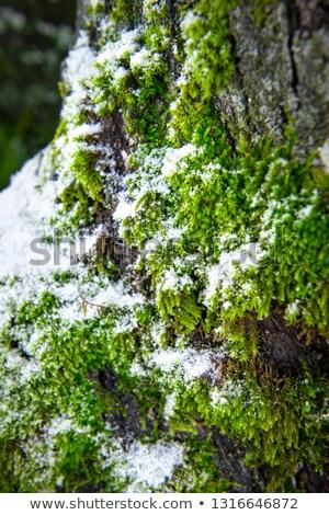 Neve coperto muschio full frame dettaglio Foto d'archivio © prill