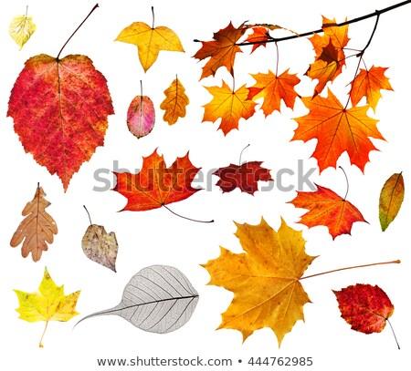 набор · желтый · листьев · дерево · древесины - Сток-фото © dolgachov